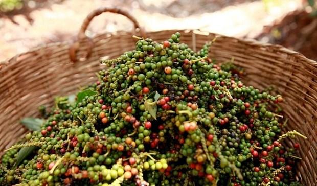 一周农产品价格:咖啡价格上涨 胡椒价格暴跌 hinh anh 2