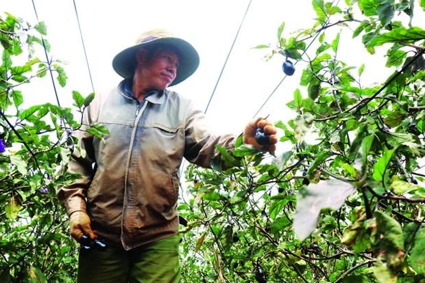 日本紫茄子助力亚新乡农民增收致富 hinh anh 2