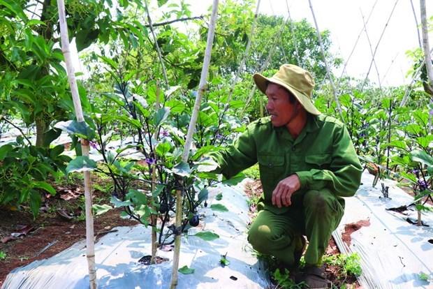 日本紫茄子助力亚新乡农民增收致富 hinh anh 1