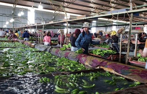 越南农业经营企业为柬埔寨劳动者创造就业机会 hinh anh 2