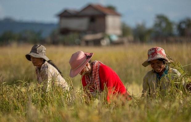2020年柬埔寨大米出口量预计达80万吨 hinh anh 1