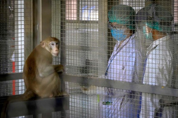 泰国新冠病毒疫苗猴体实验已注射第2针预计10月进行人体实验 hinh anh 1