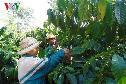 公私合作为得乐省咖啡可持续生产带来多种效益 hinh anh 1