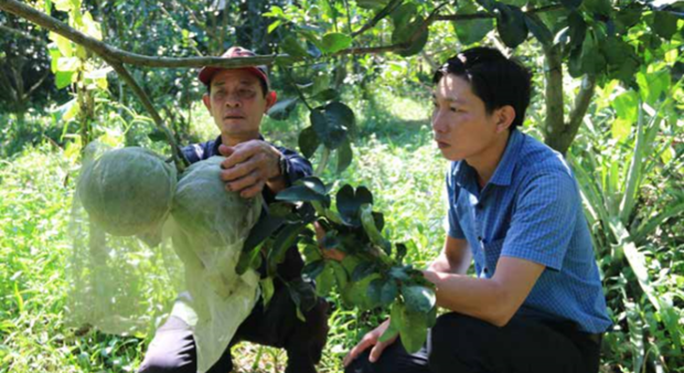 受干旱和海水入侵袭击中期和后期的绿皮柚子栽培注意事项 hinh anh 1