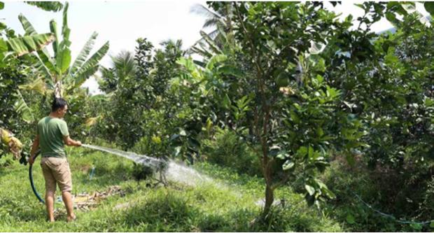 受干旱和海水入侵袭击中期和后期的绿皮柚子栽培注意事项 hinh anh 2