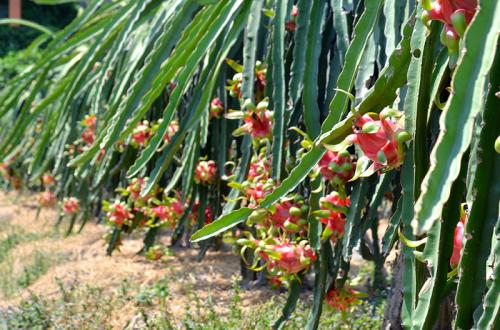 隆安省向LaviAgri公司出售100多吨火龙果 hinh anh 2