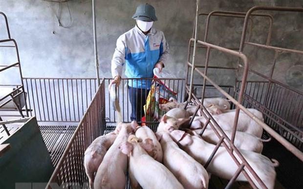越南具备检测和发现猪流感病毒的能力 hinh anh 2