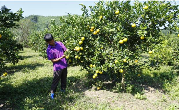 柑橘类果树栽培技术 hinh anh 1