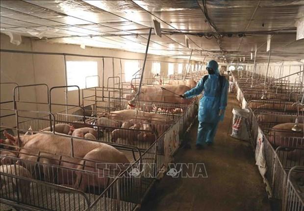 越南需要近2290亿越盾开展非洲猪瘟疫情防控工作 hinh anh 1