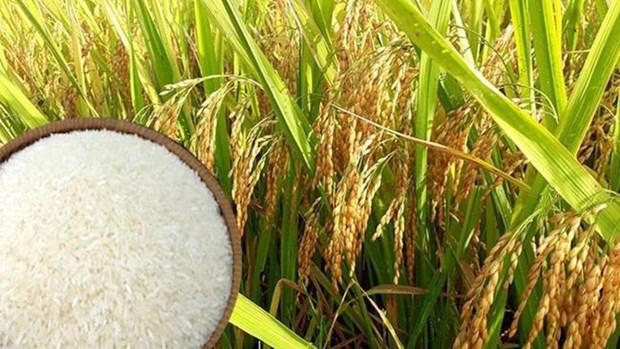 越南大米对国内消费和出口确保安全 hinh anh 2