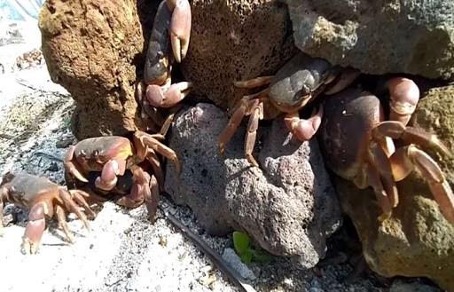 李山岛努力保护与可持续开发石蟹 hinh anh 2