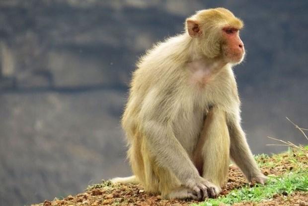 越南开始在猴子身上试验新冠肺炎疫苗 hinh anh 1
