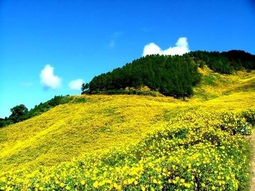 河内市巴维县打造肿柄菊花海品牌 助推首都旅游业发展 hinh anh 2