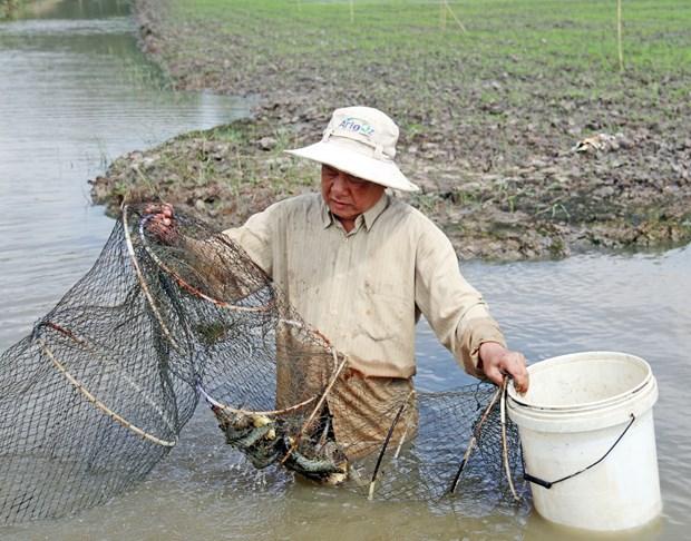 永顺县虾稻共作种养模式成效显著 hinh anh 1