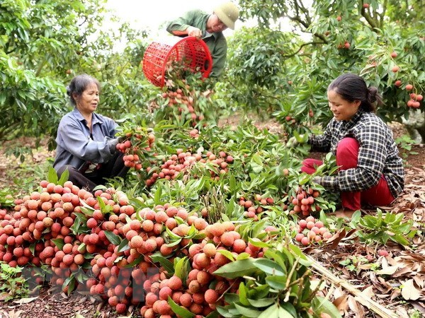 越南全国果树种植面积达110万公顷 hinh anh 1