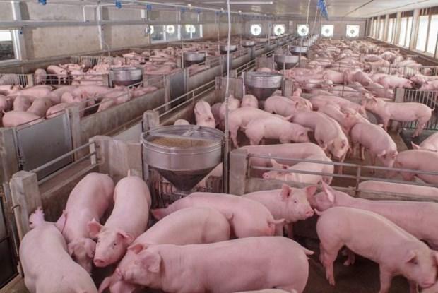 俄罗斯是越南最大猪肉供应国 hinh anh 1