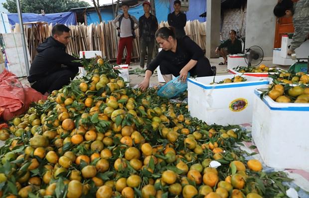本地橘种植带动光顺村民增收致富 hinh anh 2