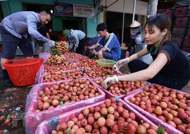 多家企业签约为北江省销售早熟荔枝 hinh anh 1