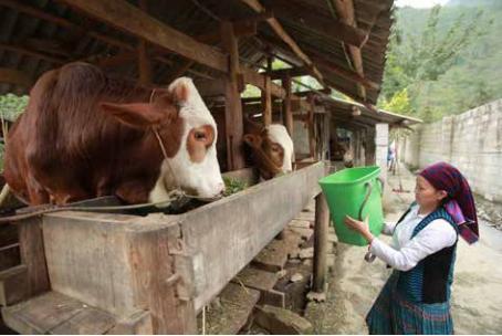在高温天气中饲养水牛和黄牛 hinh anh 1