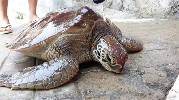 承天顺化省:一只珍稀海龟被放归大海 hinh anh 1
