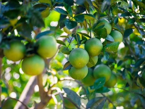 承天顺化省可持续发展南东橙子种植区 hinh anh 1