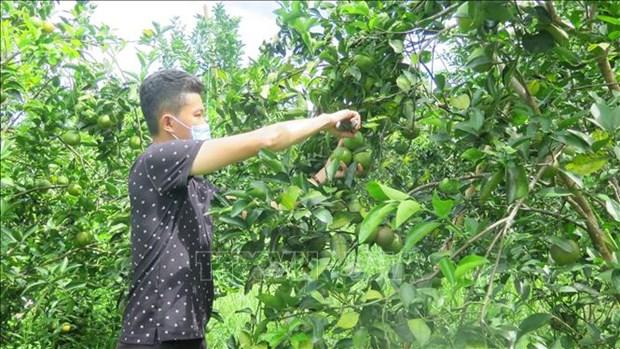 承天顺化省可持续发展南东橙子种植区 hinh anh 2