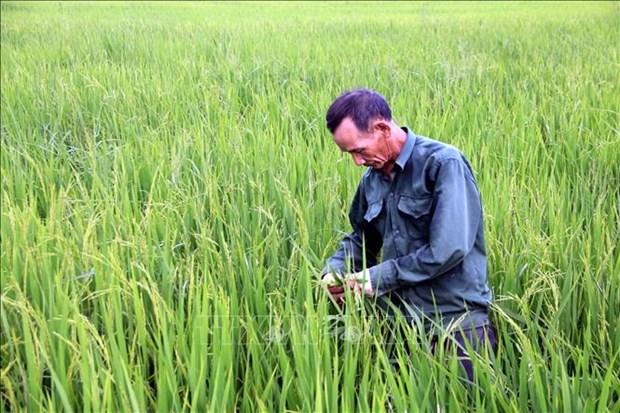 Tuyen Quang: Tap trung diet tru sau benh hai lua Mua hinh anh 1