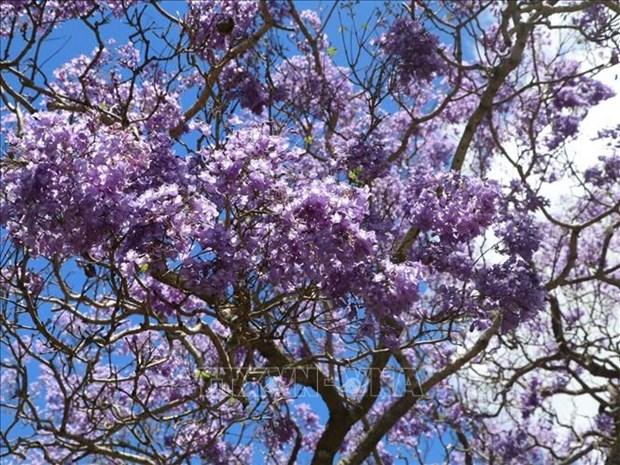 Australia: Ruc ro mua hoa phuong tim tai thi tran Grafton, bang News South Wales hinh anh 2