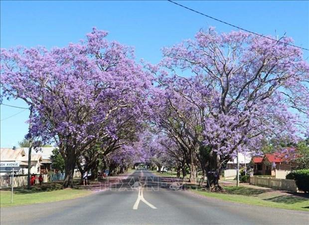 Australia: Ruc ro mua hoa phuong tim tai thi tran Grafton, bang News South Wales hinh anh 5
