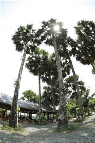 Thot not - loai cay dac trung cua vung Bay nui An Giang hinh anh 13