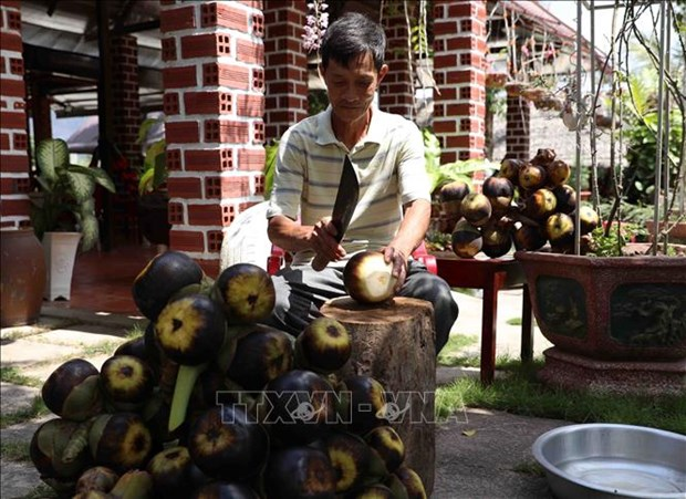 Thot not - loai cay dac trung cua vung Bay nui An Giang hinh anh 8