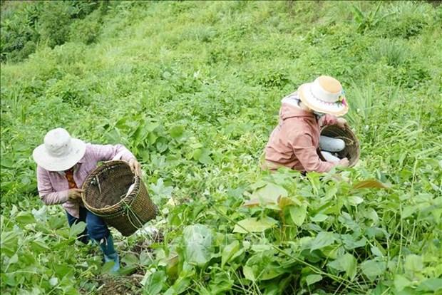 Nguoi dan vung cao Dien Bien phat trien cay bi xanh theo huong hang hoa hinh anh 3
