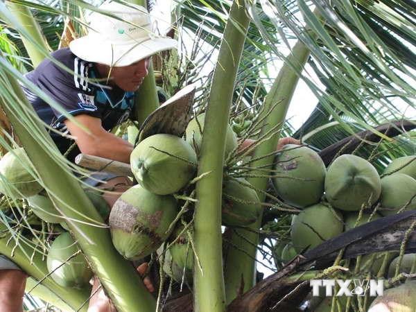 槟椥省对欧盟市场出口首批水果 hinh anh 2