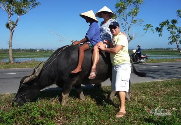 骑水牛体验活动--会安市农民独一无二的旅游产品 hinh anh 2