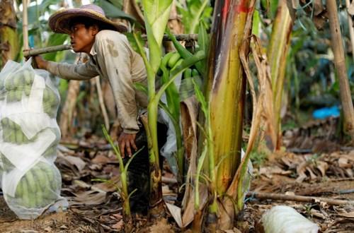 香蕉继续是老挝的主要出口农产品 hinh anh 1