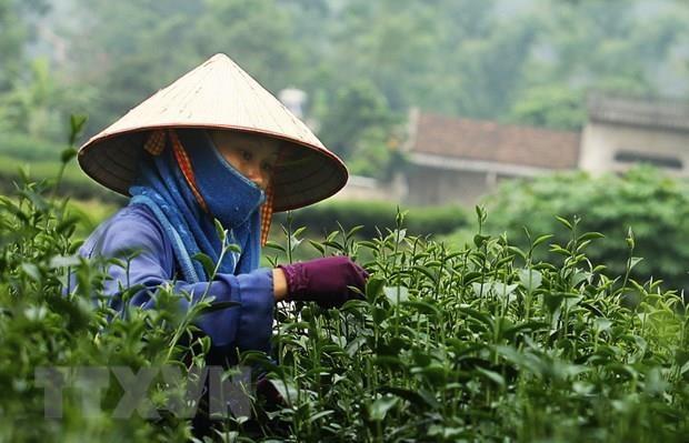 前2个月茶叶出口额猛增 hinh anh 1