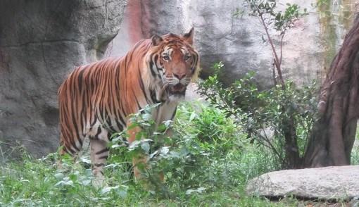 透过老虎没收案看越南对老虎圈养、贩卖、救援和保护的监管工作 hinh anh 1