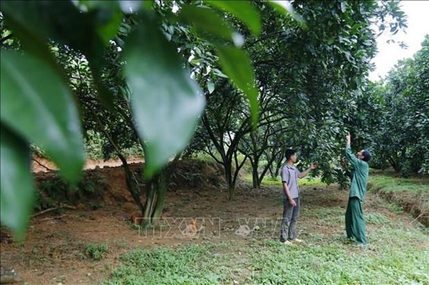 Lao nong Vu Van Lung di dau trong phat trien kinh te trang trai o Tuyen Quang hinh anh 2