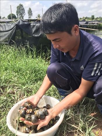 Anh Nguyen Van Huong nuoi oc thuong pham co hieu qua kinh te cao hinh anh 3
