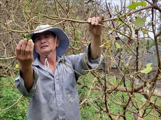 Bo canh cung an trui la vuon cay o Binh Phuoc hinh anh 1