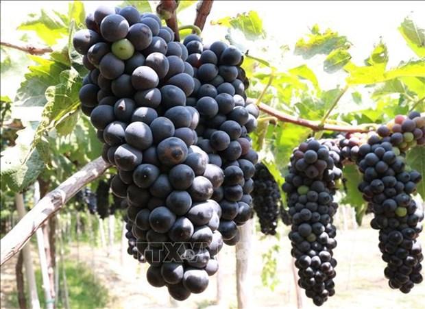 宁顺省着重研发优质酿酒葡萄品种 hinh anh 1