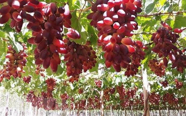 宁顺省着重研发优质酿酒葡萄品种 hinh anh 2